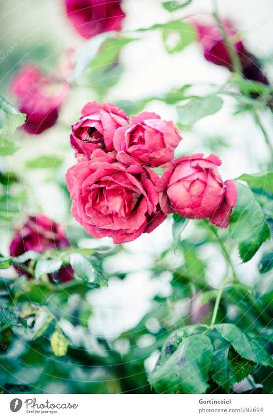 roses Nature Plant Summer Rose Blossom Beautiful Green Red Rose blossom Rose leaves Rose garden Blossom leave Colour photo Exterior shot Shallow depth of field
