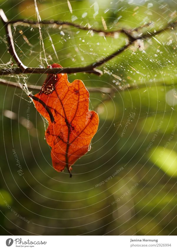 Semi-weathered leaf in autumn forest Nature Plant Animal Autumn Leaf Forest Cobwebby Spider's web Sign Ravages of time Transience End Death Grief twilight years