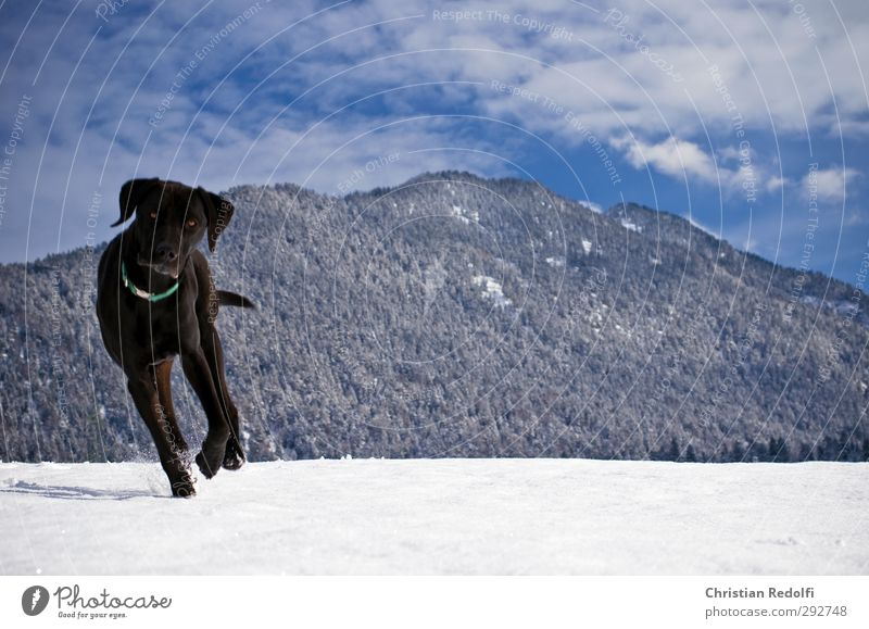 stroll Dog dog owner Exterior shot Snow Snow track Snow mountain Snow cornice Animal training Mountain Landscape Hill mountains snowdog Human being Rear view