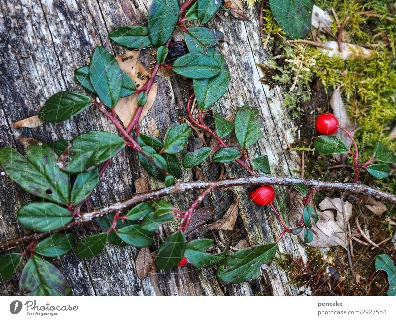 always green Nature Plant Spring Bushes Forest Alps Success Wild Evergreen Pygmy Medlar Red Berries Moss Tendril Wood Survive Winter festival Colour photo