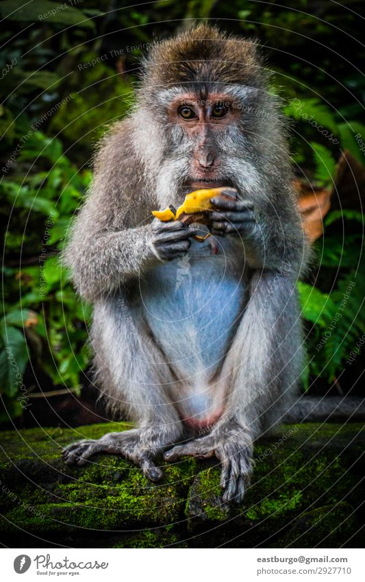 A Wild Monkey Easts A Banana Woman Nature Animal Forest Eating Adults Family & Relations Tourism Stone Sit Cute Asia Mammal Virgin forest Moss