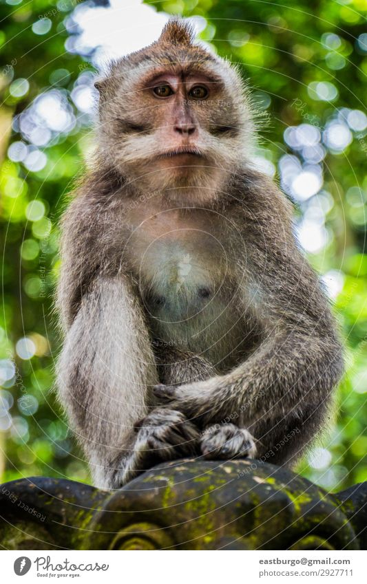 A Wild Monkey Perched on a Statue Tourism Woman Adults Family & Relations Nature Animal Moss Forest Virgin forest Fur coat Stone Sit Cute Apes Asia Bali