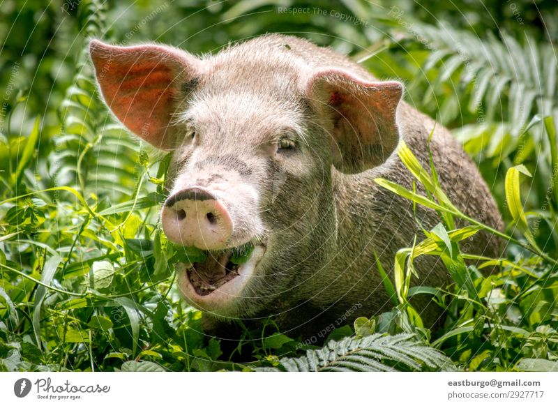 A happy pig in Papua New Guinea Meat Eating Happy Beautiful Tourism Island Nature Animal Virgin forest Smiling Small Cute Wild White Tradition Bougainville PNG