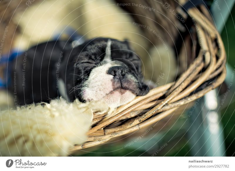 Boston Terrier Puppy boston terrier puppy female whelp small young cute sweet Animal portrait Exterior shot Colour photo Dream Happy Society Peaceful Cute