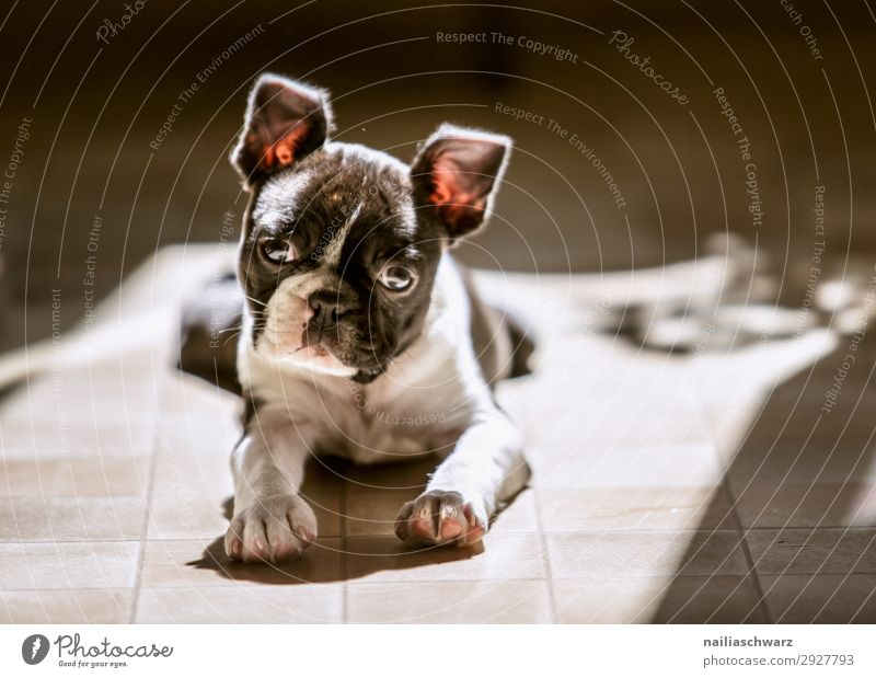 Boston Terrier Puppy Flat (apartment) Animal Pet Dog Animal face French Bulldog 1 Baby animal Relaxation Looking Sadness Wait Happiness Small Natural Curiosity