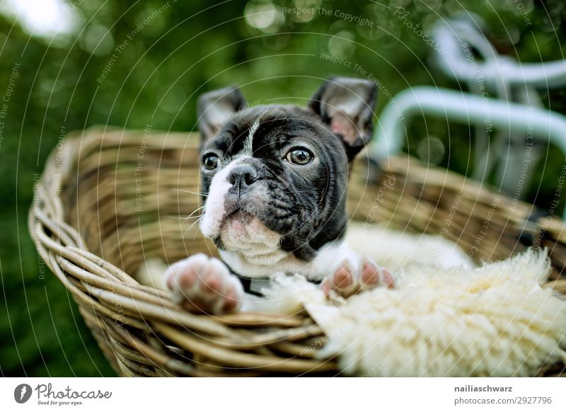 Boston Terrier puppy makes excursion Lifestyle Tourism Trip Adventure Far-off places Cycling Garden Park Bicycle Animal Pet Dog boston terrier French Bulldog