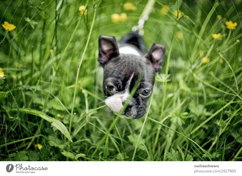 Boston Terrier puppy makes trip... Environment Nature Plant Animal Spring Summer Beautiful weather Flower Grass Foliage plant Park Meadow Pet Dog boston terrier