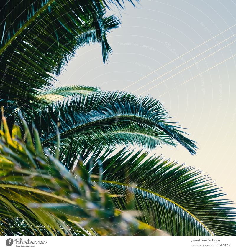 Sky Nature Green Summer Plant Tree Environment Far-off places Beautiful weather Esthetic Square Palm tree South Corsica Leaf canopy Palm frond