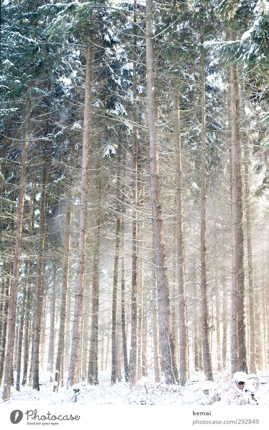coniferous forest Environment Nature Landscape Plant Winter Beautiful weather Ice Frost Snow Tree Spruce Spruce forest Coniferous trees Forest Growth Bright