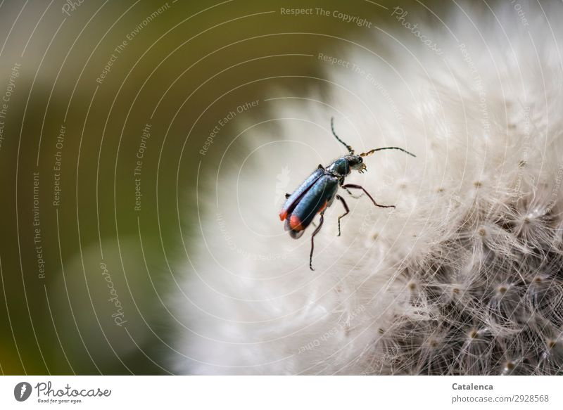 Dodgy Tip Beetle Spring Plant Flower Wild plant Dandelion Garden Meadow Field Wild animal Insect 1 Animal Crawl Beautiful Small Blue Orange Red White Life