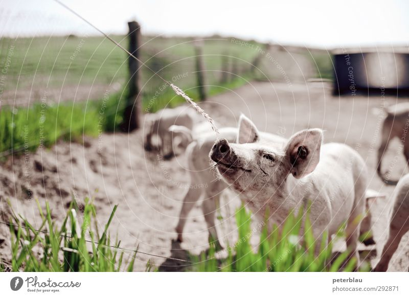 be lucky Animal Swine Group of animals Herd Baby animal To feed Feeding Dirty Brash Curiosity Cute Green Pink Love of animals Appetite Swinishness Piglet