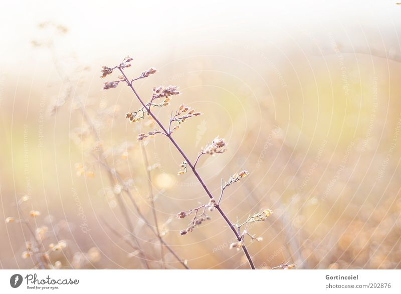 Herbes Nature Plant Sunlight Meadow Bright Beautiful Yellow Gold Herb meadow Herbs and spices Bushes Weed Colour photo Exterior shot Copy Space left