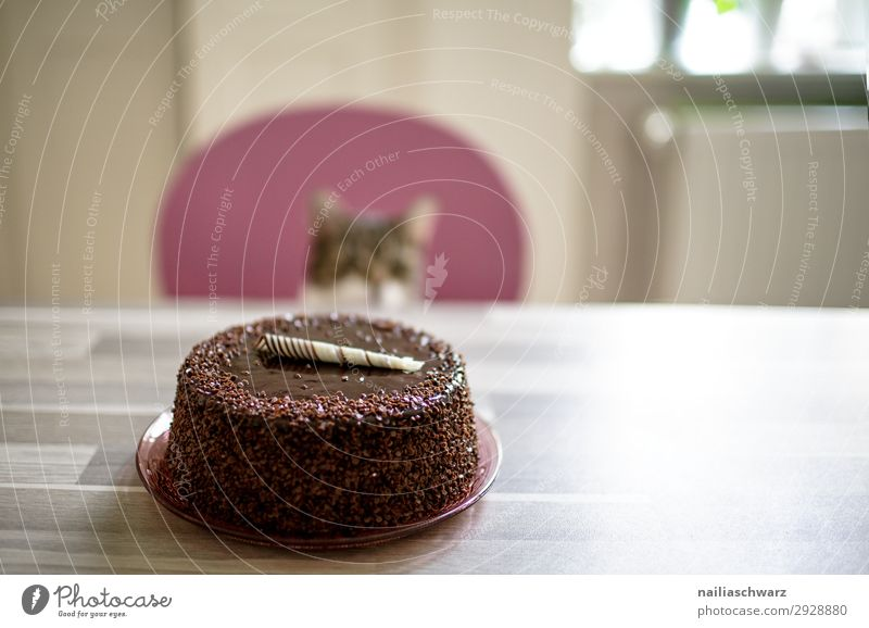 Cake & Cat Food Dessert Candy Gateau Nutrition Joy Living or residing Flat (apartment) Birthday Animal Pet 1 Feasts & Celebrations Looking Wait Delicious Sweet