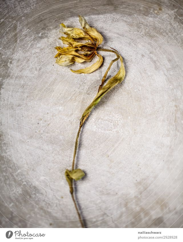 Withered Tulip tulip dead withered wilted stone background old aged ageing dry dried flower floral Still Life Sadness sad Colour photo Divide Thirst Moody