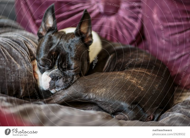 rest Lifestyle Relaxation Calm Living or residing Flat (apartment) Living room Bedroom Animal Pet Dog French Bulldog boston terrier 1 Sofa Cushion Lie Sleep