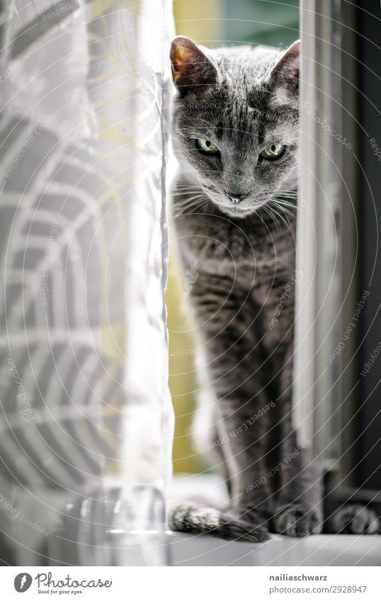 Cat at the window Elegant Flat (apartment) Window Animal Pet Pelt russian blue 1 Curtain Observe Looking Sit Wait Cool (slang) Cute Beautiful Blue Gray