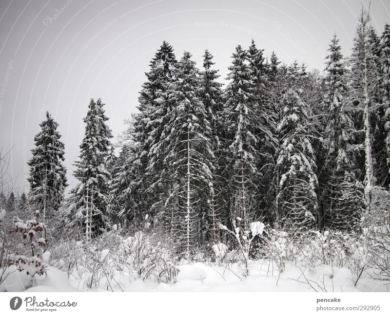 Forest Snow Joie de vivre (Vitality) Snowscape Clearing Spruce forest