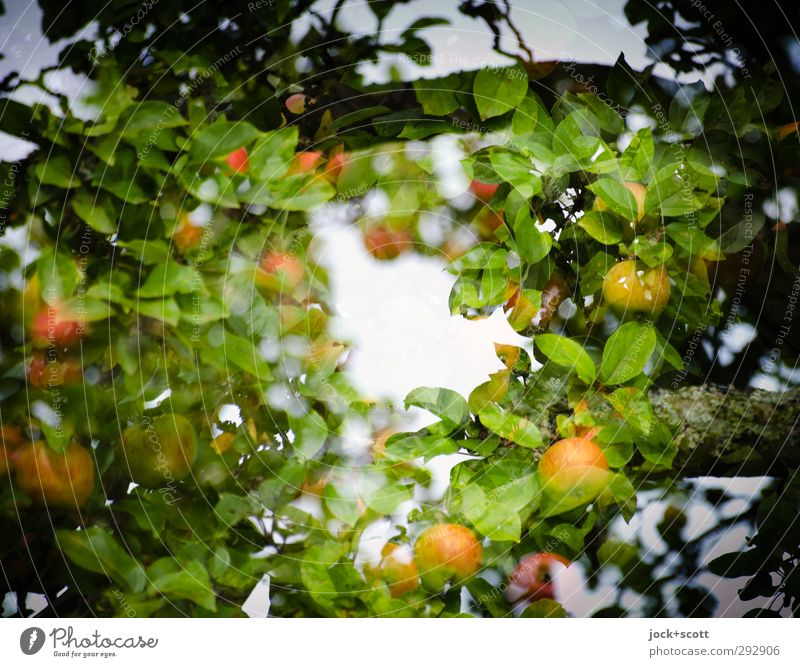 Apple in natural circle Food fruit Nature tree flaked Agricultural crop hang Growth Fresh Delicious Warmth Moody Center point Irritation Double exposure Frame