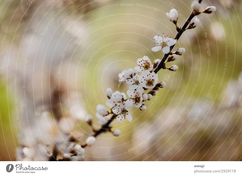 Pear tree blossoms Environment Nature Plant Spring Flower Blossom Bud Brown White Blossoming Colour photo Subdued colour Exterior shot Close-up Detail