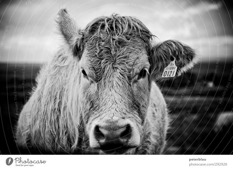 Cow into my eyes, baby. Animal 1 Fat Large Natural Looking Black & white photo Exterior shot Deserted Day Shallow depth of field Portrait photograph