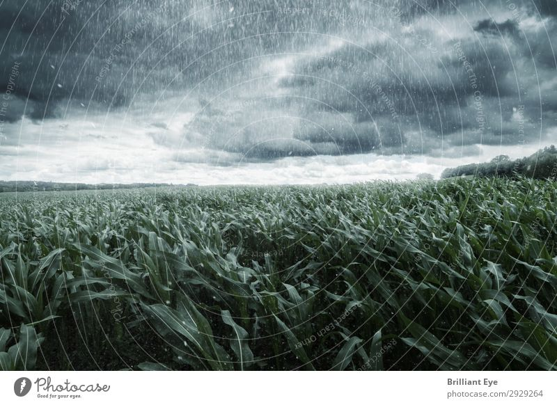 Storm in sight Nature Plant Storm clouds Horizon Summer Wind Gale Rain Agricultural crop Maize field Field Threat Creepy Cold Rebellious Moody Might Movement
