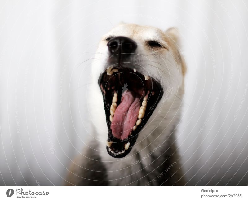 Dog Animal Laughter Open Sleep Nose Teeth Animal face Fatigue Pet Scream Boredom Aggression Frustration Dentist Muzzle