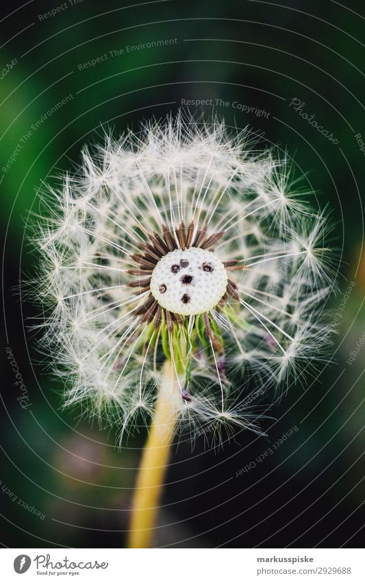 dandelions macro close up Elegant Life Summer Nature Plant Warmth Bouquet Jump Esthetic Authentic Fragrance Joie de vivre (Vitality) Spring fever fragility