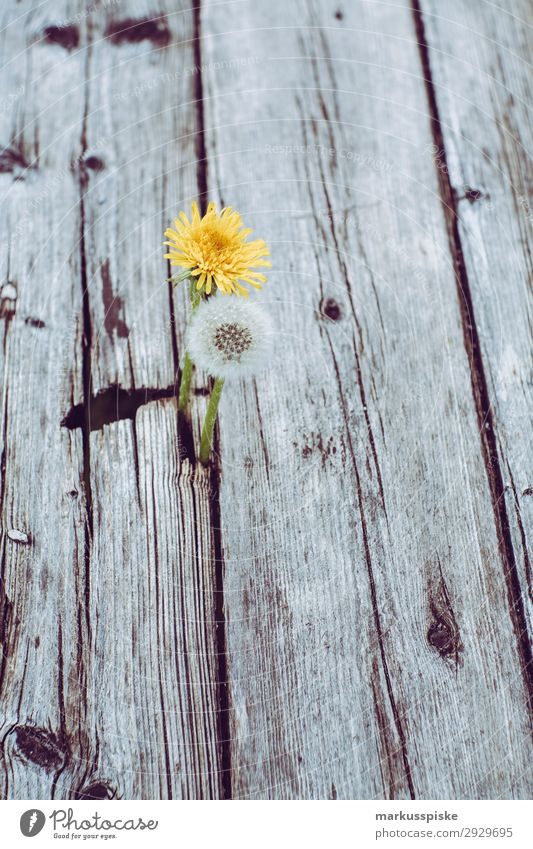 dandelions macro close up Elegant Life Summer Nature Plant Warmth Bouquet Jump Fragrance Spring fever Anticipation fragility alive beautiful beauty