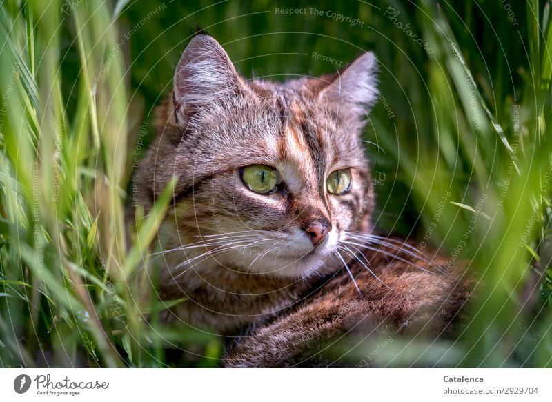 In the grass Nature Plant Animal Spring Grass Leaf Foliage plant Garden Meadow Pet Farm animal Cat Tieger cat 1 Observe Lie Beautiful Small Brown Green Orange