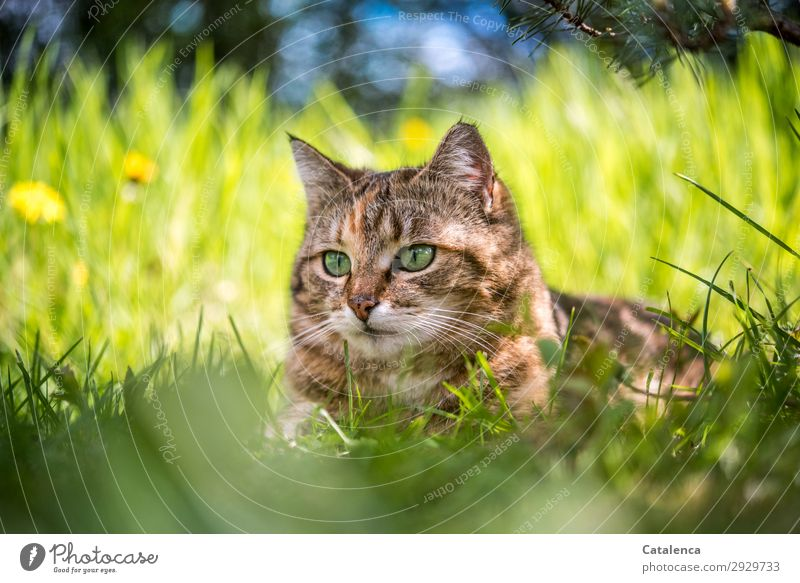 Outstanding cat head in high grass. Nature Plant Animal Sky Spring Beautiful weather Flower Grass Leaf Blossom Dandelion Garden Meadow Pet Cat 1 Observe Lie