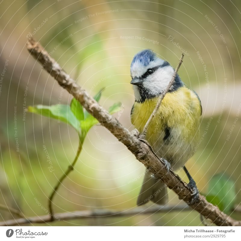 Curious Blue Tit Nature Animal Sunlight Beautiful weather Tree Leaf Wild animal Bird Animal face Wing Claw Tit mouse Beak Eyes Feather Plumed 1 Observe