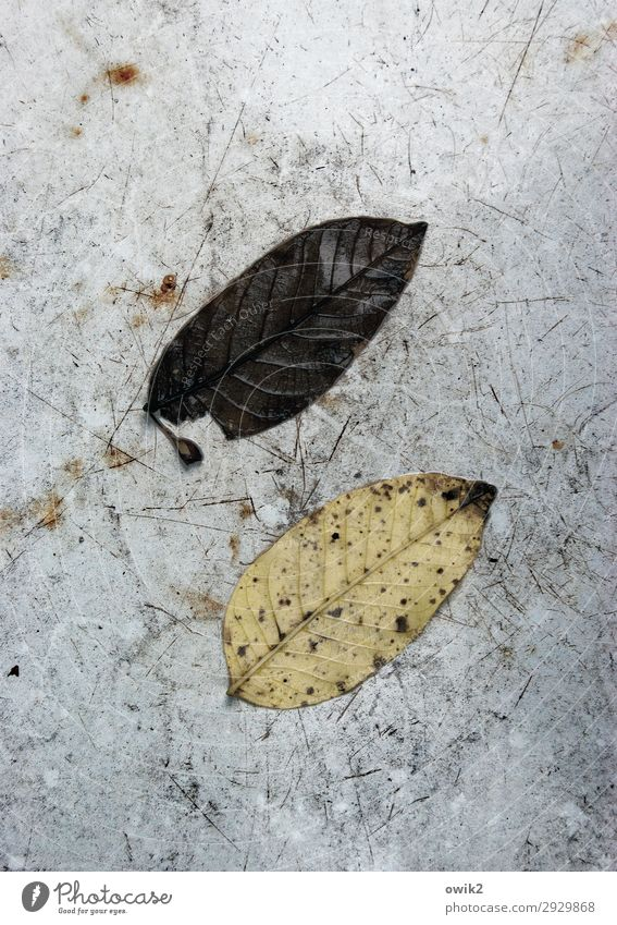 stalemate Environment Nature Autumn Leaf Old Lie To dry up Together Gloomy Dry Under Decline Transience 2 In pairs Opposite Parallel Colour photo Subdued colour