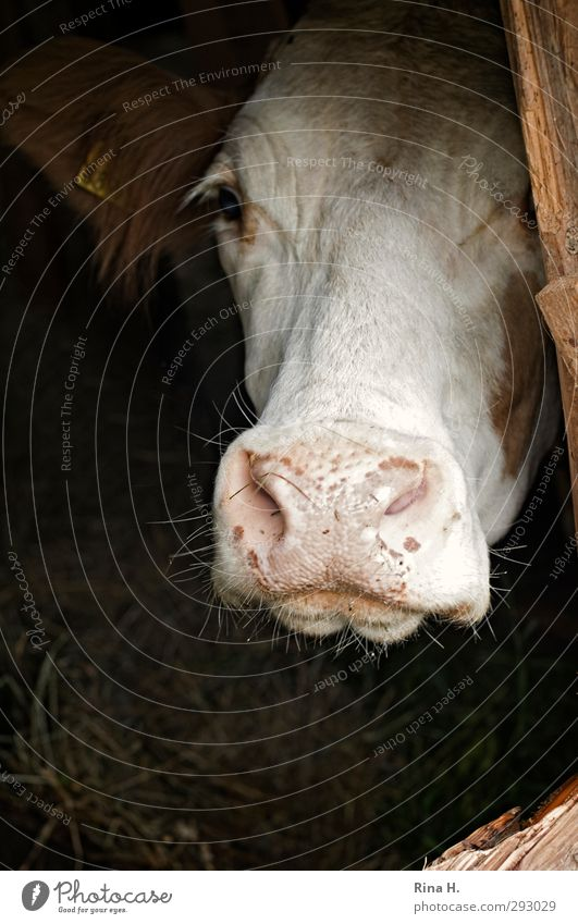 Get me out of here!! Agriculture Forestry Farm animal Cow Cattle 1 Animal Wait Sadness Loneliness Distress Desire hope Barn Snout Livestock breeding