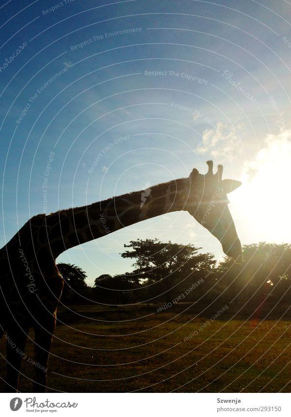 Nature Summer Sun Animal Wild animal Beautiful weather Africa Wanderlust Safari Giraffe Philippines