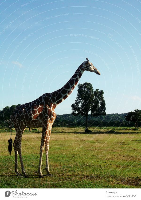 Nature Summer Animal Landscape Relaxation Environment Warmth Wild animal Beautiful weather Zoo Safari Giraffe