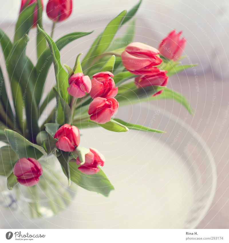Flower Bright Pink Fresh Happiness Joie de vivre (Vitality) Blossoming Bouquet Square Tulip Anticipation