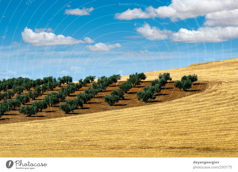 Olive trees in a row. Plantation and cloudy sky Vegetable Fruit Garden Culture Nature Landscape Earth Sky Tree Leaf Old Natural Brown Green olive Agriculture
