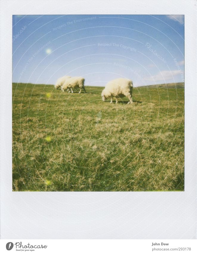 Pola sheep Nature Landscape Sky Clouds Spring Summer Meadow Retro Agreed To feed Herd Sheep England Analog Rural Soft 3 bucolic Grassland Nostalgia Polaroid
