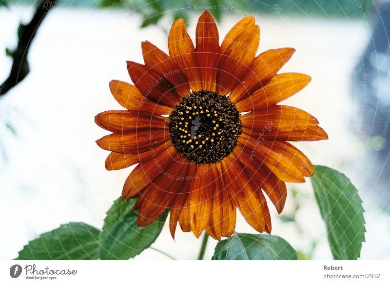 Red Summer Lighting Sunflower Flower