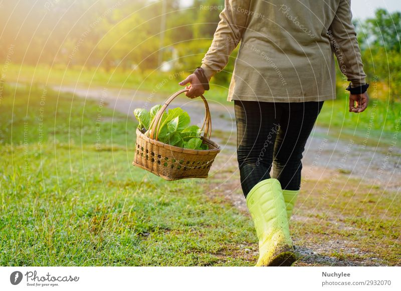 Farmer picking fresh organic vegetable in the basket Woman Human being Nature Summer Plant Beautiful Green Lifestyle Adults Natural Grass Garden Fresh Action