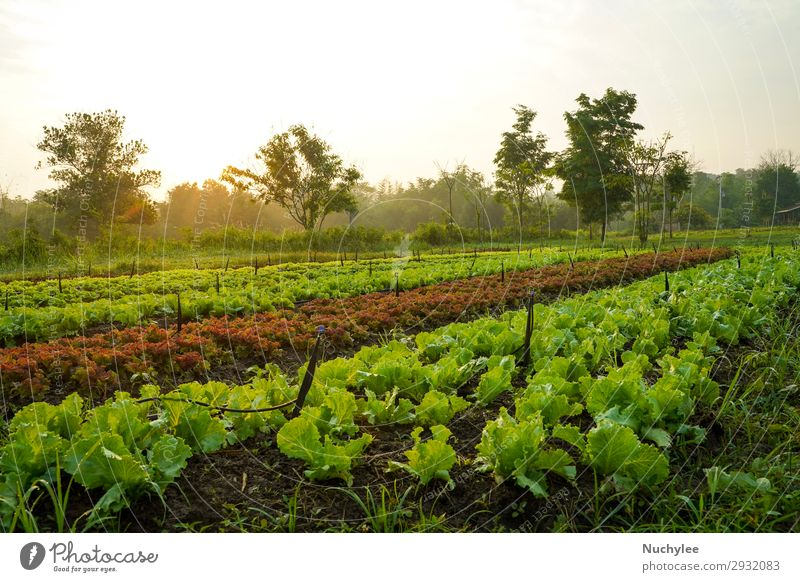 Landscape of organic vegetables cultivation farm Vegetable Summer Garden Nature Plant Leaf Growth Exceptional Fresh Natural Green Red Farm plantation lettuce