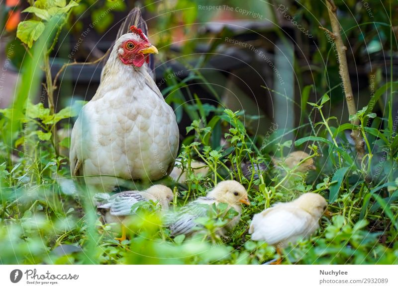 Mother hen with chicken in the green grass Meat Beautiful Baby Environment Nature Animal Grass Meadow Bird Wing Stand Free Natural Cute Green White poultry Farm