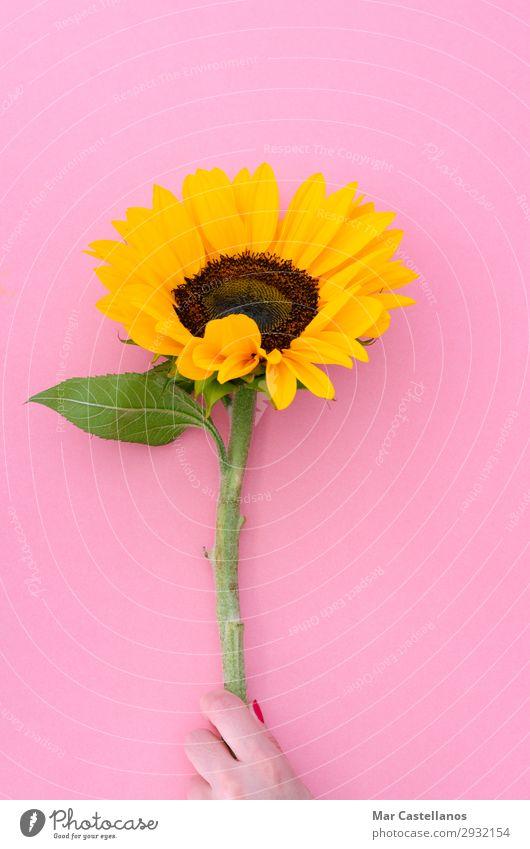 Sunflower flower on pink background. Nature Colour Beautiful Green Red Hand Flower Leaf Black Yellow Interior design Love Blossom Natural Feminine