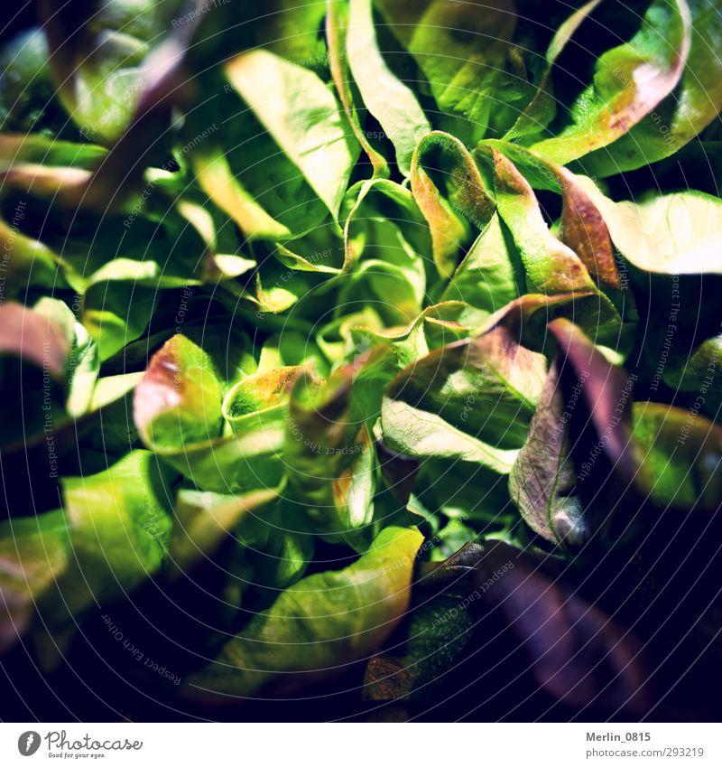 forage Lettuce Salad Nutrition Vegetarian diet Diet Eating To enjoy Fresh Healthy Green Multicoloured Interior shot Studio shot Close-up Detail