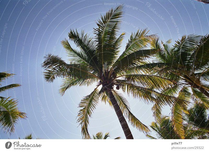 Palm tree in Mex Playa del Carmen Mexico
