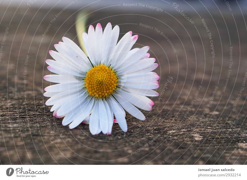 white daisy flower in the nature in summer Daisy Family Flower White Blossom leave Plant Garden Floral Nature Decoration Romance Beauty Photography Fragile