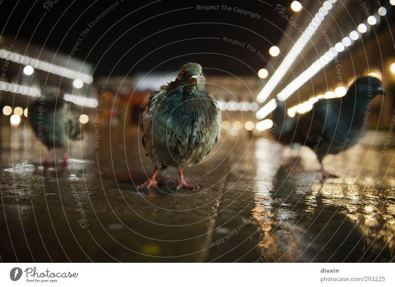 Vacation & Travel City Animal Cold Bird Rain Weather Dirty Wild animal Tourism Wet Group of animals Italy Landmark Downtown Trashy