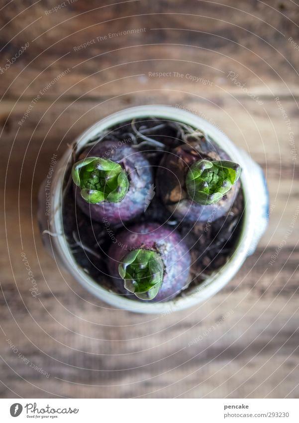 hyacinths in lard pot Nature Plant Elements Earth Spring Winter Flower Leaf Blossom Pot plant Wood Fragrance Simple Friendliness Natural Curiosity Positive