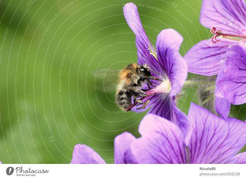 Of bees and flowers Nature Plant Blossom 1 Animal Work and employment Bee Diligent Accumulate Honey bee Violet Summer Colour photo Exterior shot Close-up