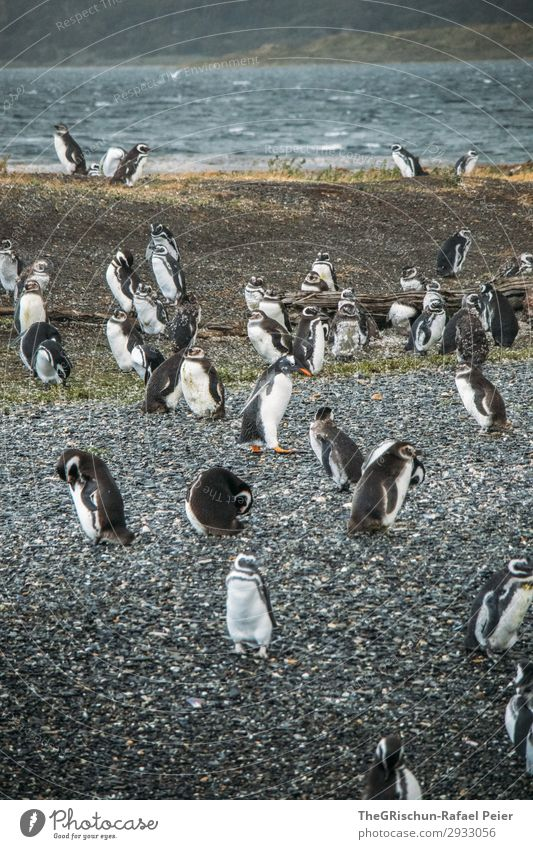 Penguins Animal Group of animals Black White Bird's colony Stone Rough Swimming Swagger Clumsy Waddle Water Ocean South America Argentina Colour photo